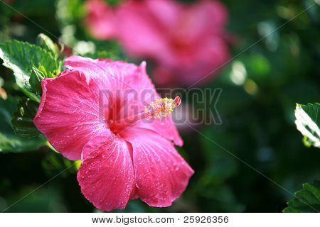 Hot Pink Hibiscus Flower on Maui Hawaii