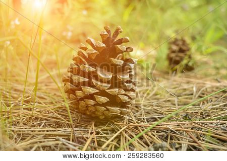 Pine Cones Lie On The Ground. Pine Cones Lie On Pins And Needles In The Sunset. Pine Cones, Forest,