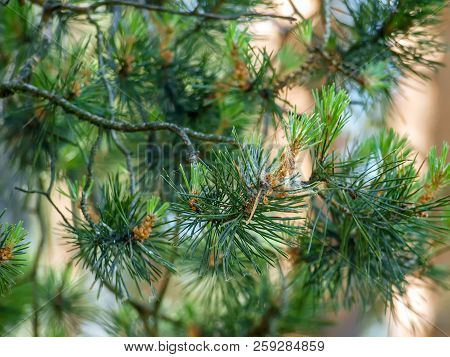 Pine Branch - Needles And Young Cones. Coniferous Needles Close Up And Needles At A Background. Smal