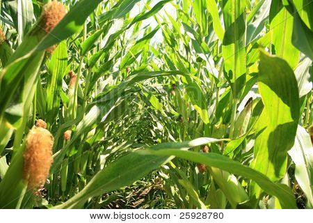 corn growing in a corn field. this is an example of
