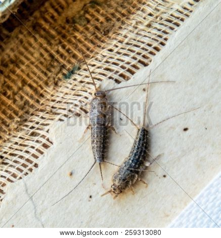 Silverfish Thermobia Near The Binding Of An Old Book. Insect Feeding On Paper - Silverfish, Lepisma.