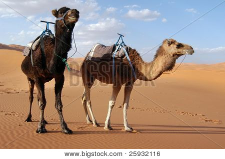 Arabian camels or Dromedaries (Camelus dromedarius) also called one-humped camels in the Sahara Desert, Morocco poster