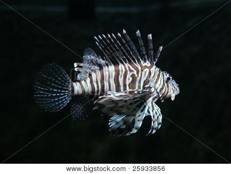 Common lionfish (Pterois volitans) in aquarium