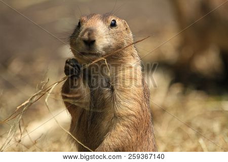 A Closeup Of Prairie Dog Chewing On A Blade Of Grass.