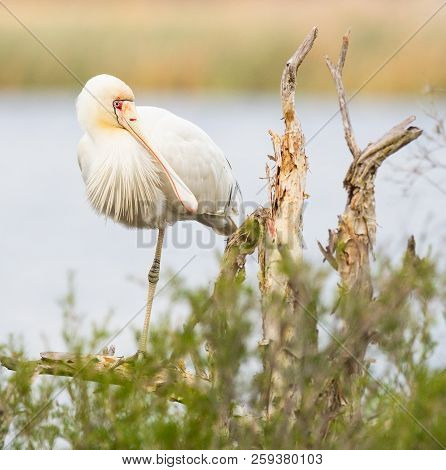 A Yellow-billed Spoonbill (platalea Regia) Perched On A Tree At Herdsman Lake In Perth, Western Aust