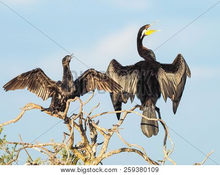 A Darter And A Little Black Cormorant Warming Themselves On A Paperbark Tree At Herdsman Lake In Per