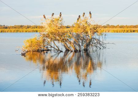 A Darter, Cormorants And Ducks On A Submerged Paperbark Tree At Herdsman Lake In Perth, Western Aust
