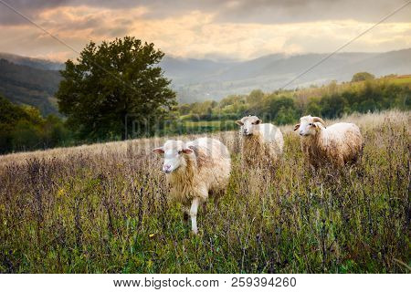 Two Sheep And Ram Walk Through Grassy Meadow. Mysterious Countryside Scenery With Oak Tree In The Di