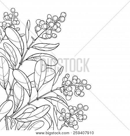 Vector Corner Branch With Outline Poisonous Plant Privet Or Ligustrum. Berry Bunch And Ornate Leaf I