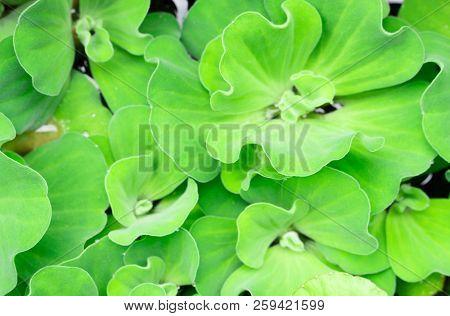 Closeup Green Duckweed Natural Background Texture, Selective Focus