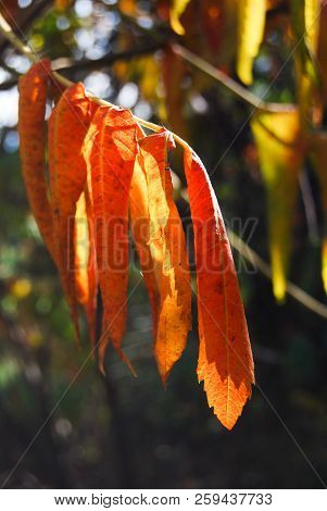 Leaves Of Fraxinus Illuminated From The Sun Rays During The Autumn Time