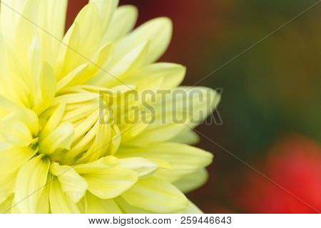Close-up Of A Beautiful Yellow Semi Cactus Dahlia (asteraceae) Flower In The Morning Light. Blooming