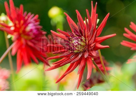 Close-up Of A Red Cactus Dahlia (asteraceae) Flower On A Sunny Day In Late Summer.