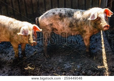 Two Pigs In A Pigpen At Farmyard