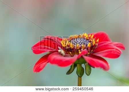 Close-up Of A Red Dahlia (bishop Of Auckland) Flower In Late Summer.