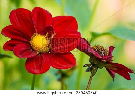 Close-up Of A Deep Purple Dahlia (asteraceae) Flower In The Morning Light. Blooming Red Dahlia (bish