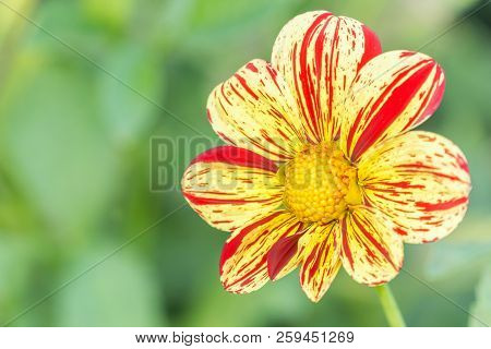 Close-up Of A Red-yellow Dahlia (asteraceae) Flower In The Morning Light. Blooming Dahlia (saitenspi