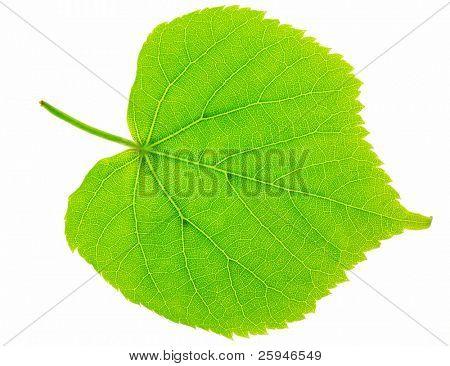 Fresh green lime tree leaf macro on white