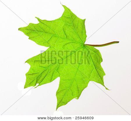 Fresh green maple tree leaf macro on white