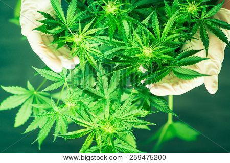 Marijuana Leaves. Planting Weed. Green Background. Growing Indoor Cultivation. Marihuana Plants Clos