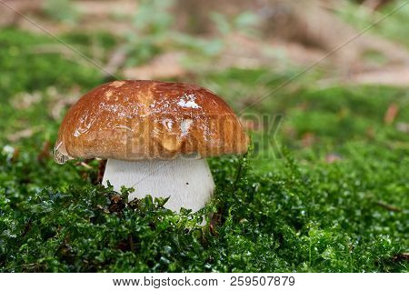 Boletus Edulis. Fungus In The Natural Environment.