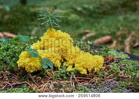 Fuligo Septica. Fungus In The Natural Environment.