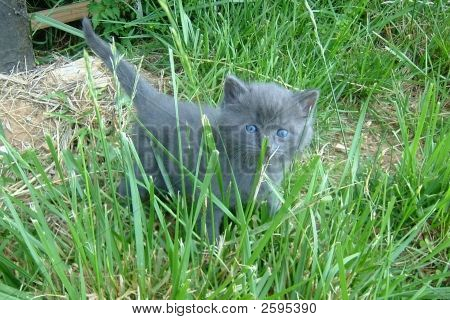 grey kitten with blue eyes