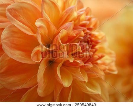 Closeup Of A Yellow Orange Dahlia Flower