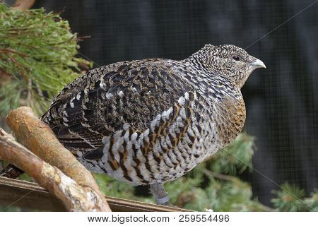 Capercaillie - Tetrao Urogallus  Female Grouse Of Pine Forests (captive)