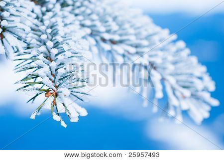 Pine branches in the snow against the blue sky