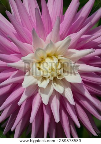 A Beautiful Pink Pastel Colored Dahlia Flower
