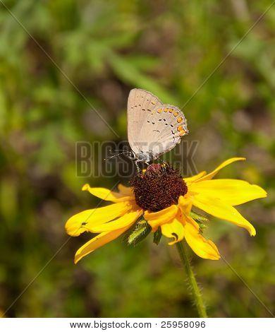 Coral Hairstreak butterfly feeding on Black-Eyed Susan