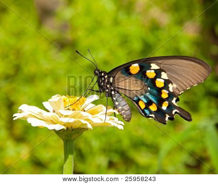 Green Swallowtail butterfly feeding on a pale yellow Zinnia against green foliage