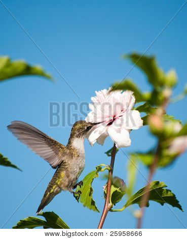 Beautiful little Hummingbird clinging onto a leaf, feeding with her beak deep in an Althea flower