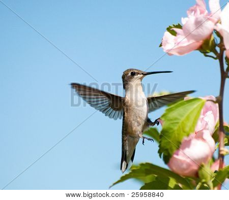 Tiny Hummingbird clinging onto an Althea flower with one foot