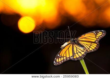 brillante Vizekönig Schmetterling auf eine Blume gegen Bunt Sonnenuntergang