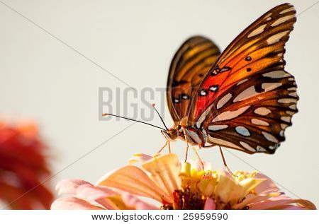 Ventral view of Agraulis vanillae butterfly against light background