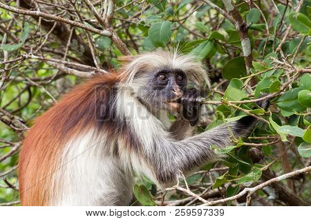 A Monkey Eats A Tree Branch. Kirks Red Colobus. Africa, Zanzibar.