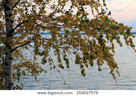 Yellow Birch On The Lake, River. Tree With Yellow Leaves Near The Water. The Autumn Fir Forest. Yell