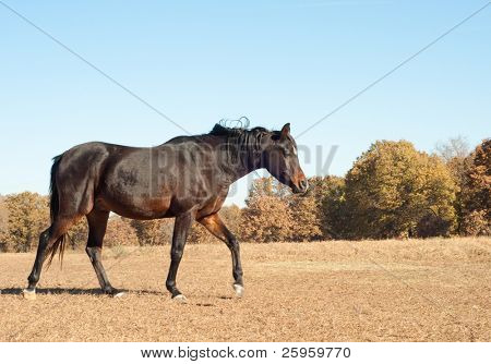 Dark bay Arabian horse walking in the dry fall pasture with muted colors against bright blue autumn sky poster