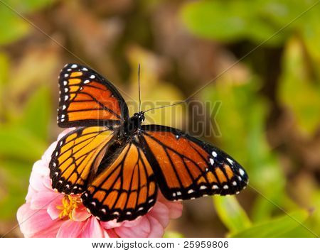 Dorsal view of an orange and black Viceroy butterfly