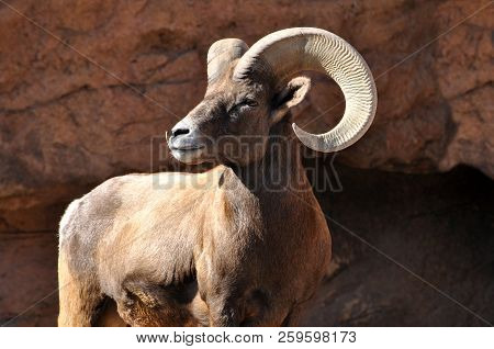 Bighorn Sheep Ram With Large Horns In The Rocky Mountains Closeup Portrait