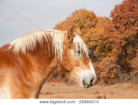 Profile of a beautiful blond Belgian Draft horse against muted color late autumn trees poster