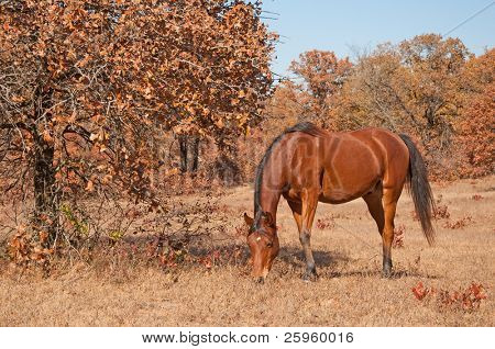 Red bay Arabian horse grazing in a dry fall pasture on a sunny day poster
