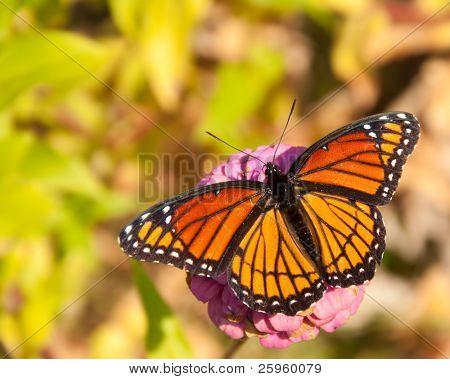 Dorsale Ansicht eines brillanten Vizekönig Schmetterlings