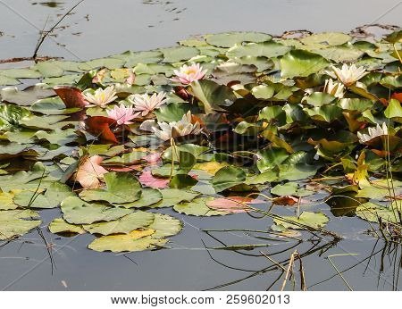 Many Beautiful Flowering Lilies In Stagnant Pond Water