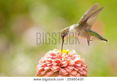 Juvenile male Hummingbird hovering, feeding on a pink flower poster