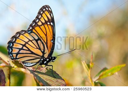 Bright orange and black Viceroy butterfly resting on a blackberry leaf in autumn