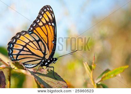 hell orange und schwarz Vizekönig Schmetterling ruht auf einem Blackberry-Blatt im Herbst