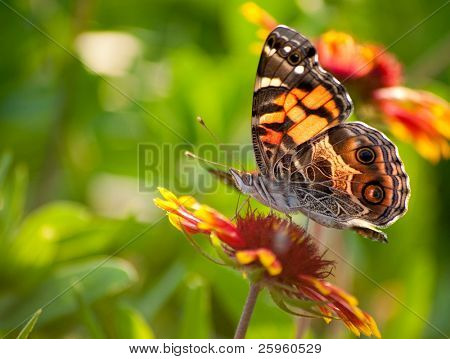 Cynthia virginiensis butterfly feeding on a bright Indian Blanket flower